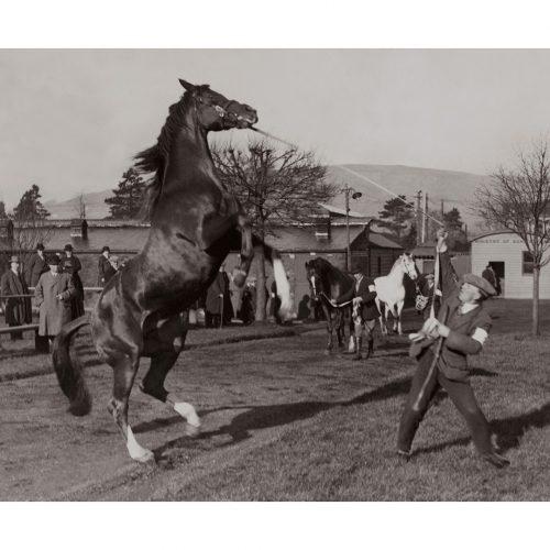 Photo d'époque Equitation n°38 - étalon - photographe Victor Forbin