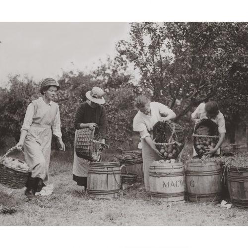 Photo d'époque métiers n°21 - récolte pommes - Cambridgshire - photographe Victor Forbin