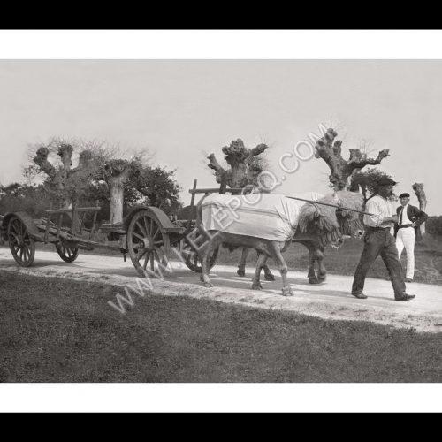 Photo d'époque campagne n°10 - travail des champs - traction bovine