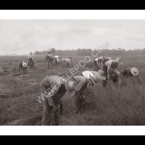Photo d'époque campagne n°13 - récolte foin au Canada - 1906 - photographe Victor Forbin