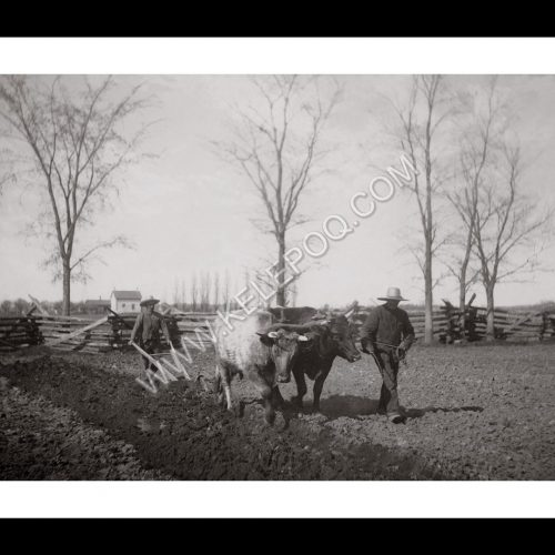 Photo d'époque Campagne n°18 - traction bovine - travail des champs