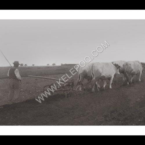 Photo d'époque Campagne n°28 - traction bovine - travail des champs