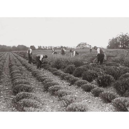 Photo d'époque campagne n°33 - champ de lavande